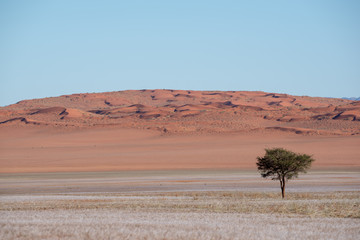Lone tree in red sand dune desert and soft grass landscape, Namibia