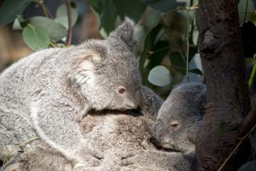 koala joeys cuddling