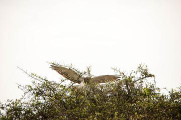 A very fierce looking hawk in Africa