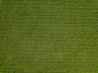 Top view of Sugarcane field
