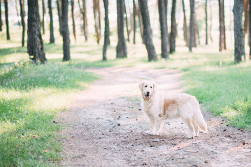 A friendly dog retriver spends an active time on the nature in the middle of the forest