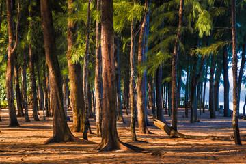 Keuken foto achterwand Weg in bos Tall pine trees standing against morning sun light at a beach in Phuket, Thailand