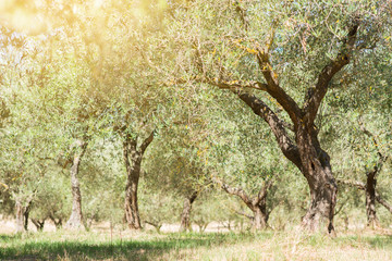 Olive trees. Olive trees garden. Mediterranean olive field ready for harvest. Italian olive's grove with ripe fresh olives. Fresh olives. Olive farm.