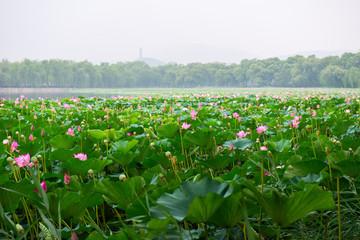 Blooming lotus in China. Lake in Beijing with flowering beautiful lotus. Flowers of lotus.