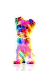 Yorkie illuminated with colorful lights isolated on white