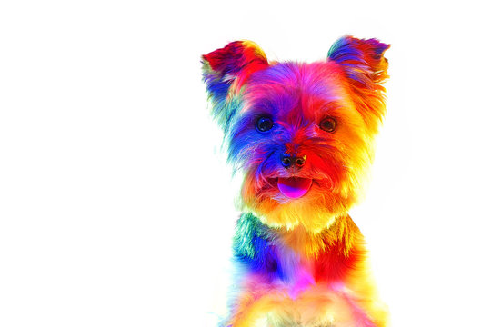 Closeup head portrait of yorkie illuminated with colorful lights