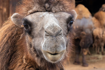Bactrian camel, Camelus bactrianus.