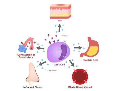 mast cell vector / histamine / allergy