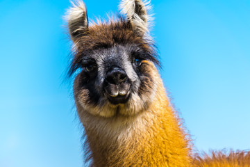 WILDLIFE, GERMANY - The portrait of a young llama, it lives on a pasture in Deckenbach Germany on a sunny day with blue sky.