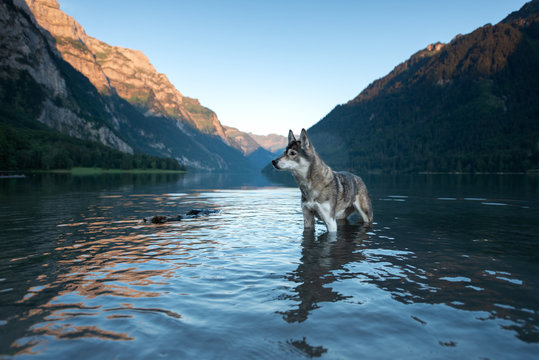 Husky in the swiss mountains