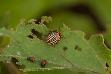 an image of Colorado beetle on potato leaf