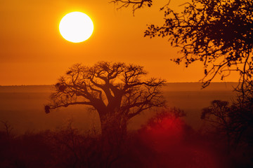 Baobab tree in sunrise landscape in Kruger National park, South Africa   Specie Adansonia digitata family of Malvaceae