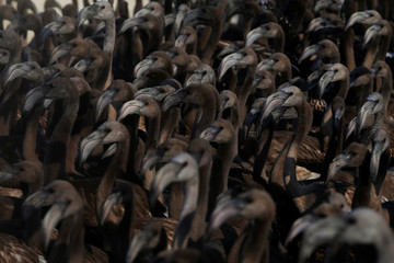 Flamingo chicks are seen in a corral before being fitted with identity rings at a lagoon in the Fuente de Piedra natural reserve near Malaga