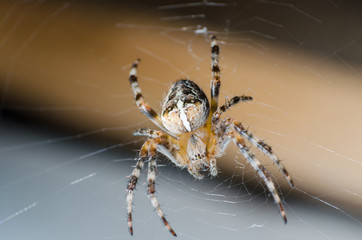 The spider sits on a cobweb in anticipation of a victim