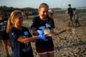 Volunteers hold a flamingo chick before fitting it with identity rings in the Fuente de Piedra natural reserve near Malaga
