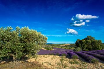 Foto op Plexiglas Lavendel Champs de lavande et oliviers en Haute-Provence