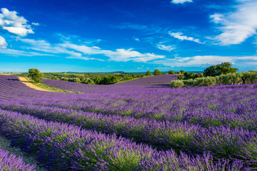 Photo Blinds Lavender Champs de lavande en Haute-Provence