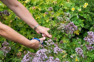 Frau erntet Kräuter aus dem Garten, Gartenarbeit
