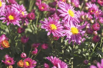 beautiful blooming chrysanthemum flowers in the garden