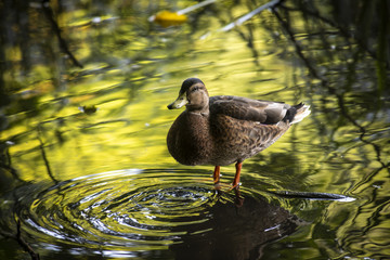 Duck in water reflection nature ecology save live