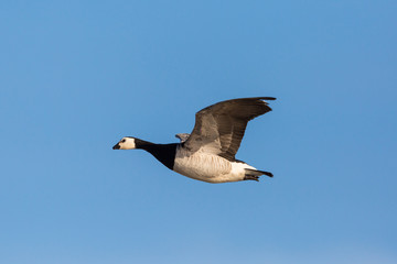 flying barnacle goose (branta leucopsis), blue sky, sunshine