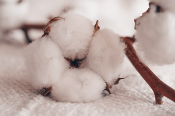 Cozy cotton flower. Cotton with warm sweater. Still life creative composition. Trendy autumn background with dried cotton