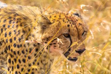 The cheetah's head is close-up. Masai Mara. Kenya, Africa