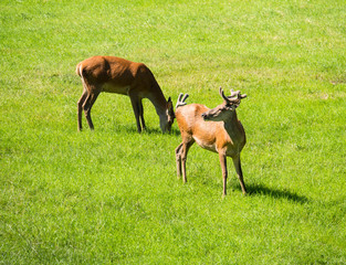 Pere or Father David's Deer and young