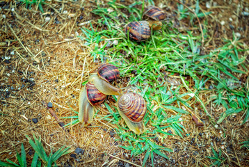 Wild snails crawling on a dewy green grass after rain in a garden