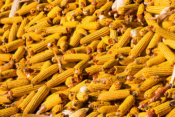 yellow corn harvest