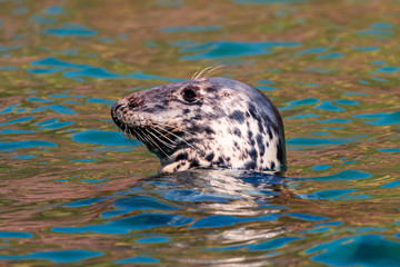 A large Atlantic Grey Seal resting in the ocean off the British coast