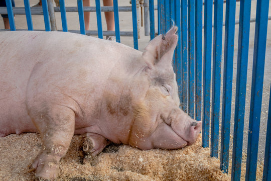Giant pig has sweet dreams and smiles as it rests in pen