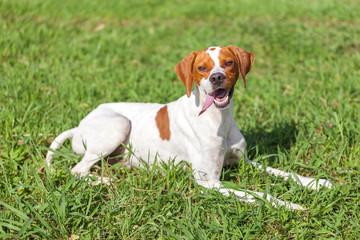 English pointer sits on the grass, animals world