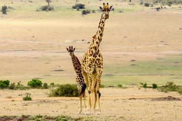 Giraffa mamma con piccola giraffa - Africa - Tanzania