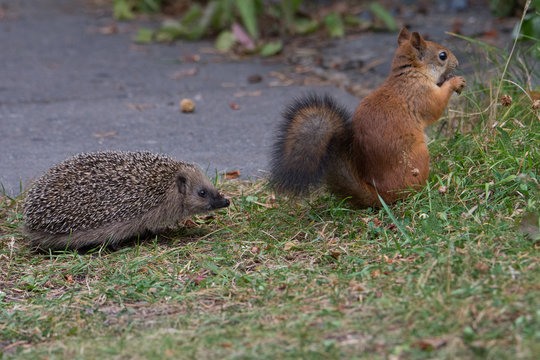 Juvenile Hedgehog encounters Red Squirrel