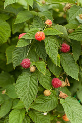 Spicy raspberry on a Bush in the garden