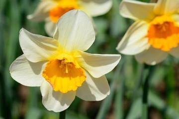 Photo sur Plexiglas Narcisse Daffodils in bloom
