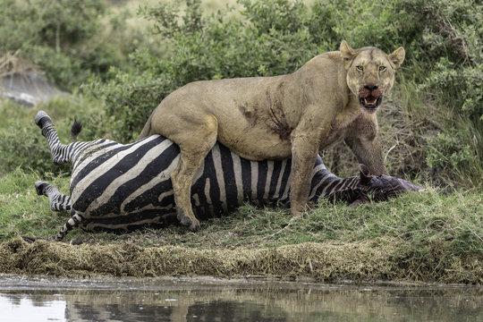 Lion kills zebra in Tanzania Serengeti