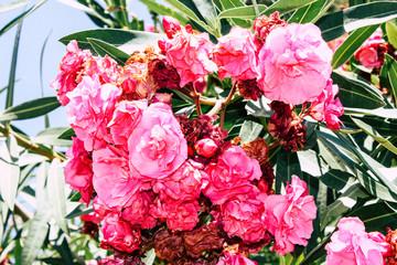 Photo sur Plexiglas Rose banbon closeup of colorful flowers from Israel