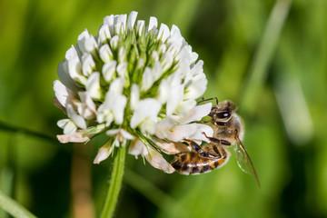 abeille qui butine une fleur de trèfle blanc
