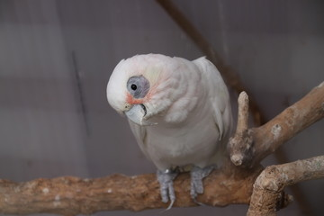 White parrot on a twig in a cage looking to the camera.