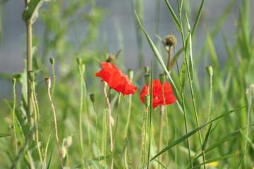Poppies in the grass along the road in Nieuwerkerk aan den IJssel , the Netherlands.