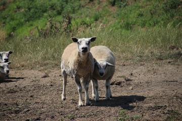 Sheeps in the meadows of the Zuidplaspolder in Zevenhuizen, the Netherlands.