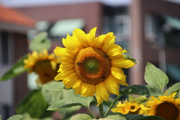 sunflowers in the sun in a garden in nieuwerkerk aan den IJssel in Netherlands.