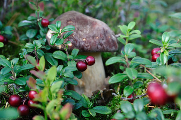 pocino in cowberries / A cep (porcino, Boletus edulis lat.) is growing among cowberries, Puumala, Finland