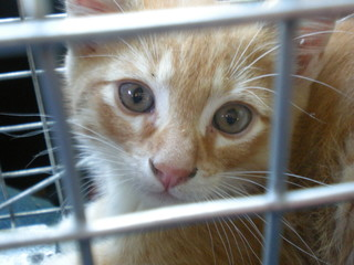 sweet orange and white kitten newly trapped still inside its cage