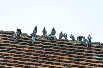 Birds sit on the roof during the rain, a flock of birds