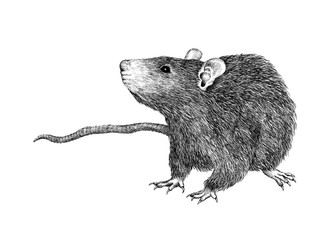 Black and White Freehand Vintage Drawing of a Rat Isolated on White