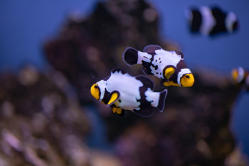 Aquarium Picasso Clown Fish