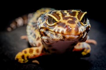 head of a lizard closeup on a dark background